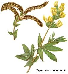 Термопсис ланцетный